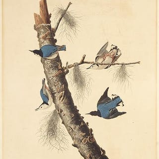 John James Audubon (American, 1785-1851) White-Breasted
