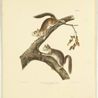 John James Audubon (American, 1785-1851) Downy