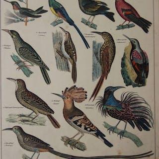 12 Vogelabbildungen aus der Familie der Baumläufer auf 1 Blatt. Baumläufer