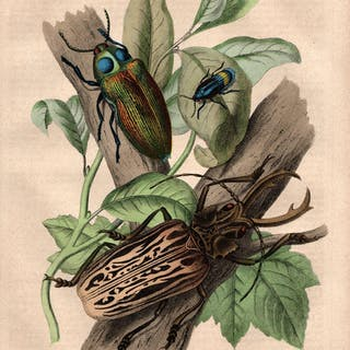 Geweihtragender Kiefernbockkäfer (Macrodontus cervicornis)