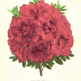 1886 LARGE Antique Botanical Lithograph AZALEA HENRI...