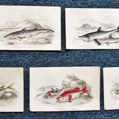 FIVE (5) ORIGINAL COPPER PLATE ENGRAVINGS OF FISH # 1 JARDINE - LIZARS JARDINE