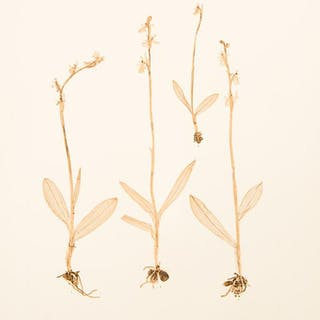 Ophrys muscifera ETTINGSHAUSEN