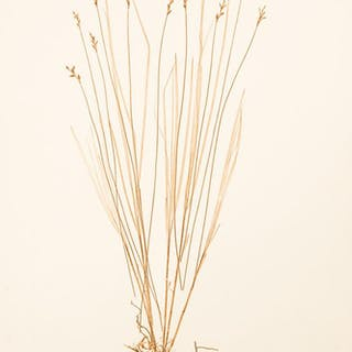 Carex brizoides ETTINGSHAUSEN