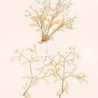 Myosotis sparsiflora ETTINGSHAUSEN