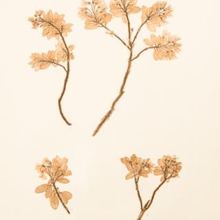 Rhododendron hirsutum ETTINGSHAUSEN