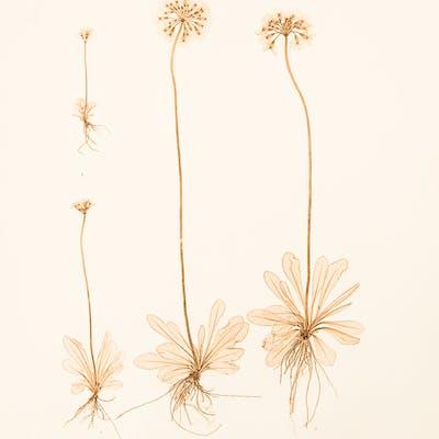 Primula farinosa ETTINGSHAUSEN