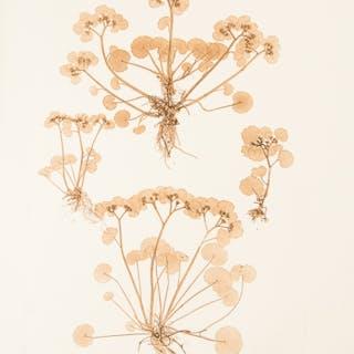 Chrysosplenium alternifolium ETTINGSHAUSEN