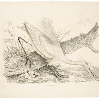 Little Egret Heron - Plate V. SELBY, Prideaux John (1788-1867) Ornithology