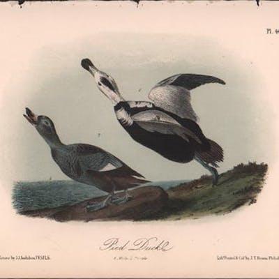 Pied Duck, Plate 400 Audubon, John James Nature & Outdoors