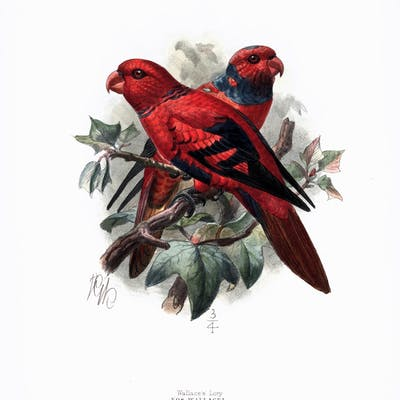 Wallace's Lory Hand-Colored Plate Mivart, St. George Prints and Maps