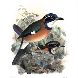 Blueheaded Ground Roller (Atelornis pittoides) Hand-Colored Plate Dresser