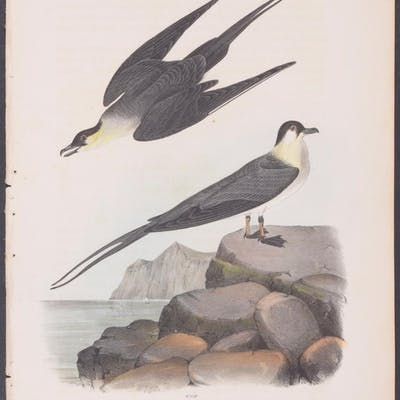 Arctic Jager John James Audubon Antique Print Bird Natural History Barnebys