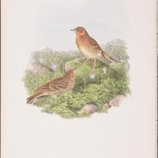 Red-thraoted Pipit John Gould Antique Print,Bird,Ornithology