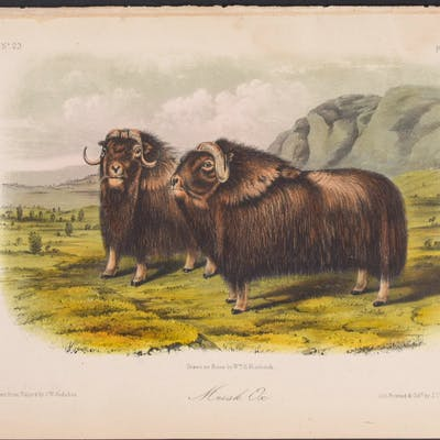 Musk Ox John James Audubon Antique Print,Natural History,Quadruped