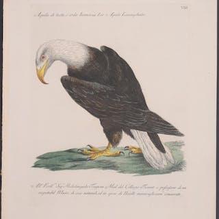 Bald Eagle Saverio Manetti