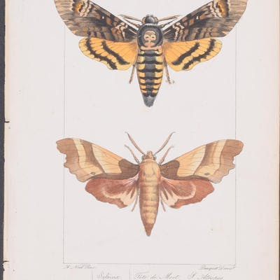 Moth Hippolyte Lucas & Pauquet Antique Print,Butterfly,Entomology