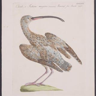 Curlew Saverio Manetti