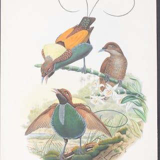 Magnificent Bird of Paradise Richard Bowdler Sharpe & John Gould
