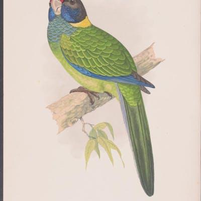 Yellow-Naped Amazon W. T. Greene Antique Print,Bird,Natural History