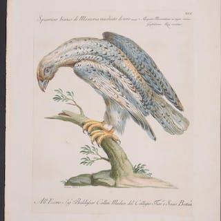 Hawk Saverio Manetti
