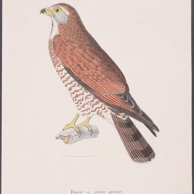 Grey-faced Buzzard Eagle Coenraad Jacob Temminck Antique...