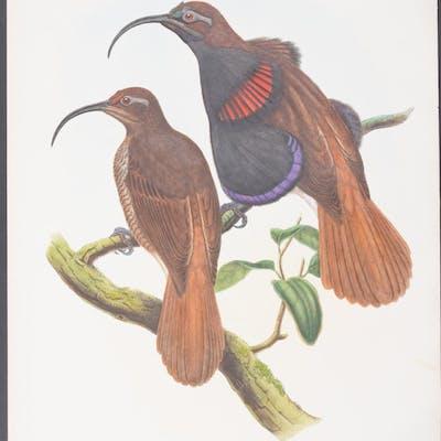 Bennett's Bird of Paradise Richard Bowdler Sharpe & John Gould