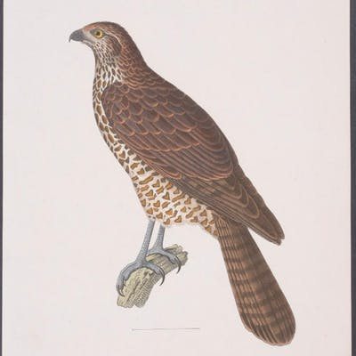 Australian Goshawk Coenraad Jacob Temminck Antique Print,Bird,Natural History