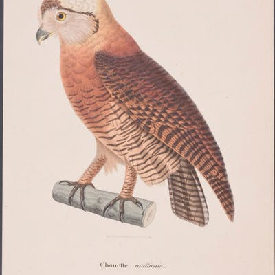 Brown Wood Owl Coenraad Jacob Temminck Antique Print,Bird,Natural History