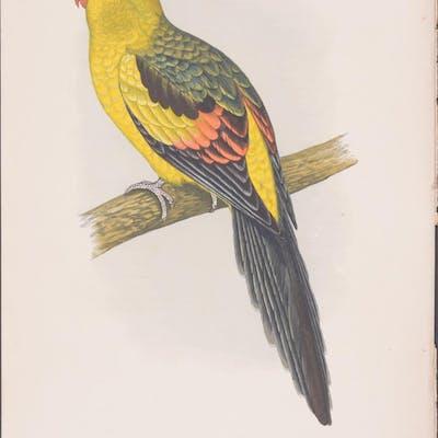 Rock Pepler Parrakeet W. T. Greene Antique Print,Bird,Natural History