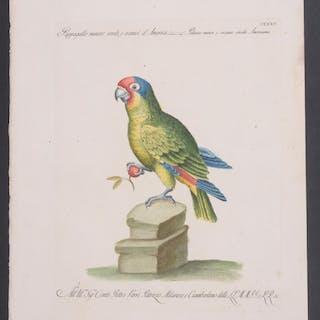 Parrot Saverio Manetti