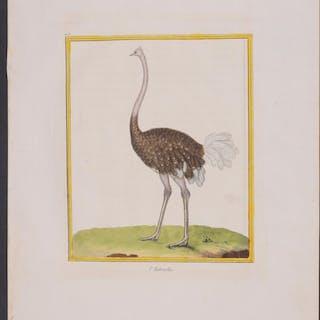 Common Ostrich Francois Nicolas Martinet & Georges Louis...