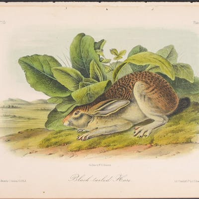 Black-tailed Hare John James Audubon Antique Print,Natural History,Quadruped