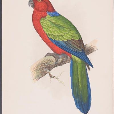 Red Shining Parrakeet W. T. Greene Antique Print,Bird,Natural History