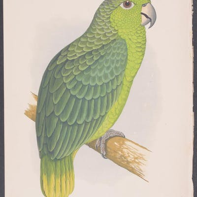 Mealy Amazon W. T. Greene Antique Print,Bird,Natural History