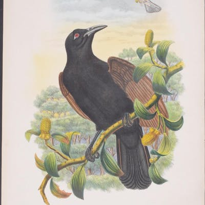 Brown-winged Paradise-Crow Richard Bowdler Sharpe & John Gould