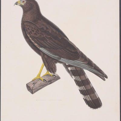 Black Harrier Coenraad Jacob Temminck Antique Print,Bird,Natural History
