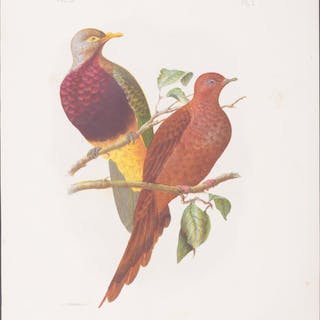 Large-tailed Pigeon & Magnificent Fruit-Pigeon Gracius...