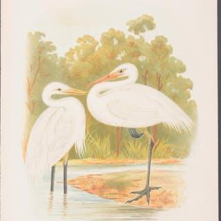 Plumed & Australian Egret Gracius Broinowski Antique Print,Australia,Bird