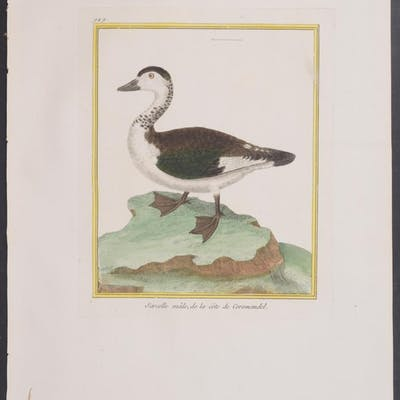 Duck (Male) Francois Nicolas Martinet & Georges Louis...