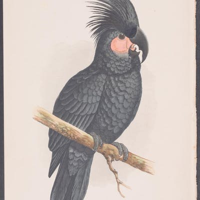 Great Black Cockatoo W. T. Greene Antique Print,Bird,Natural History