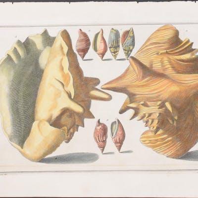 Conch Shells Nicolai Gualtieri Antique Print,Sea Life,Shell