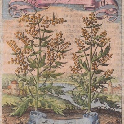 Flower - Artemisia Matthaus Merian & Michael Bernhard...