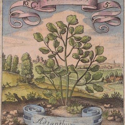 Flower - Adianthum Matthaus Merian & Michael Bernhard...