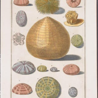 Sea Life Nicolai Gualtieri Antique Print,Sea Life,Shell