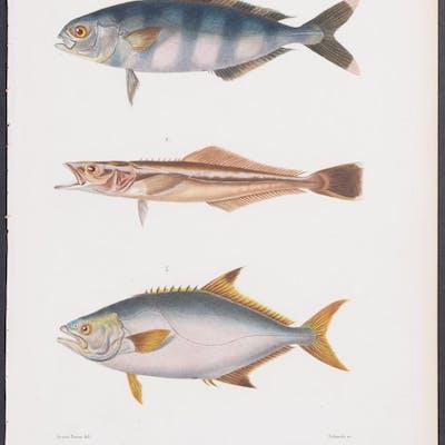 Fish - Nauterates, Elacate, Lichia Georges Cuvier Antique Print,Fish,Sea Life