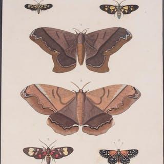 Butterfly & Moth Pieter Cramer Antique Print,Entomology,Natural History