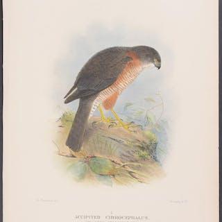 Collared Sparrow-Hawk Gregory Macalister Mathews Antique Print,Australia,Bird