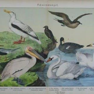 Schwimmvögel