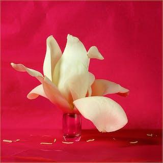 Magnolia sobre fondo rojo - Xurxo Gómez-Chao